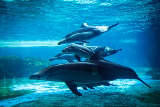 珠海长隆一连成功繁育三头太平洋白边海豚,暑期首展